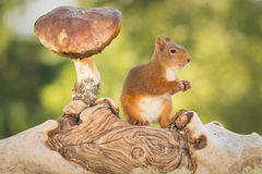 Gaze speaks volumes. Female red squirrel standing with mushroom on tree trunk Royalty Free Stock Photo