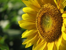 The Gaze of a Sunflower. A close up of a sunflower in warm sunlight Stock Image