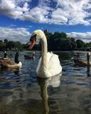 The gaze of the swan. The beauty of an intense gaze Royalty Free Stock Photography