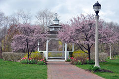 Gazebo. A white gazebo surrounded by pink spring blossom trees and tulips in front of it Royalty Free Stock Photos