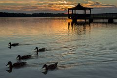 Gazebo in Lake with Mallard Ducks in Water. At Sunset Royalty Free Stock Image