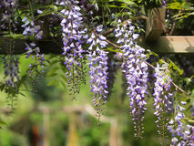 Free Gazebo With Wisteria Royalty Free Stock Image - 53264946