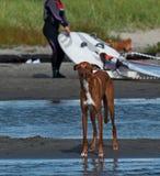 Gazehounds красивые español Galgo стоковая фотография rf