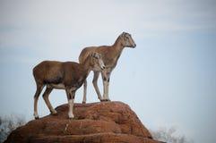 gazel Obrazy Stock