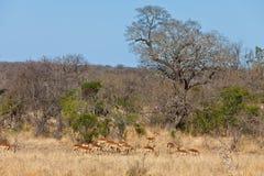 gazel dotaci kruger park narodowy s Zdjęcia Stock