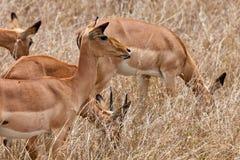 gazel dotaci trawy długa s pozycja Obrazy Royalty Free