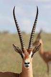gazelę subsydium Obraz Royalty Free