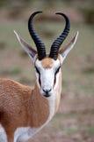 Gazela Fotografia de Stock