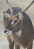 gazela Obrazy Stock
