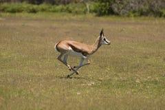 Gazela Imagens de Stock