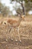 gazela Obraz Royalty Free
