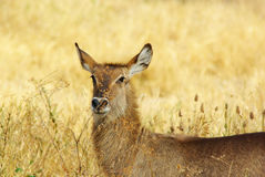 gazela Fotografia Royalty Free