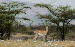 Gazela antylopa w Afryka sawanny dzikiej naturze Zdjęcie Royalty Free