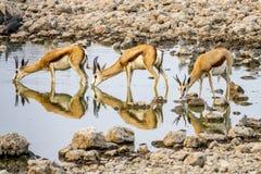 Gazela bebendo fotos de stock royalty free