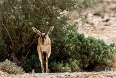 Gazela de Dorcas (dorcas do Gazella) Imagem de Stock