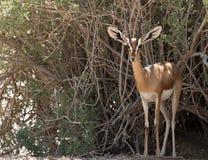 Gazela de Dorcas (dorcas do Gazella) Imagem de Stock Royalty Free
