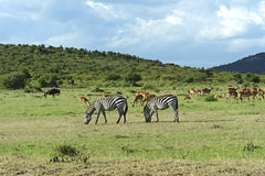 A gazela de Grant Foto de Stock Royalty Free