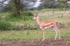 A gazela de Thomson masculino imagens de stock