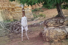 Gazela do Dama Fotografia de Stock Royalty Free