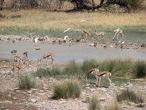 Gazela e água potável dos pássaros Imagem de Stock Royalty Free