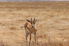 Gazela em Tanzânia Fotografia de Stock