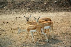 Gazela, Goitered (Gazella subgutturosa) Fotografia Stock