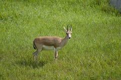 gazela goitered siedlisko obrazy stock