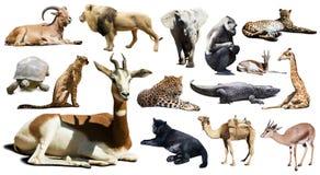 Gazela inni Afrykańscy zwierzęta Odizolowywający nad bielem Zdjęcia Stock