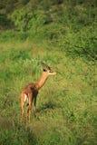 gazela jedzenia zdjęcia royalty free