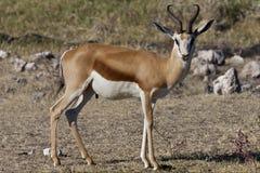 Gazela - parque nacional de Etosha - Namíbia Imagem de Stock