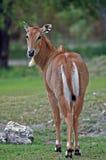 Gazela persa foto de stock
