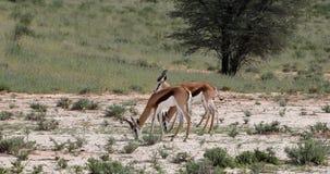 Gazela que pasta em Kalahari, ?frica do Sul vídeos de arquivo