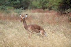 Gazela w Afryka Obrazy Royalty Free