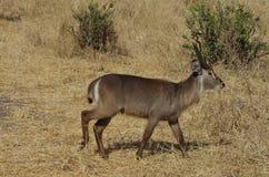 Gazela w Afryka lub antylopa Zdjęcie Stock