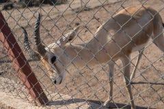 Gazela w zoo Zdjęcia Stock
