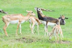 Gazelas masculinas e fêmeas do ` s de Grant no comportamento da criação de animais Fotos de Stock