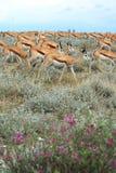 gazele grupują antylopy dzikiej Zdjęcie Stock