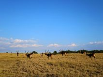 Gazele w Kenja Fotografia Royalty Free