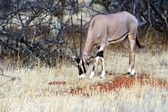Gazella сернобыка в Африке Стоковые Изображения RF
