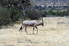 Gazella сернобыка в саванне Стоковые Изображения