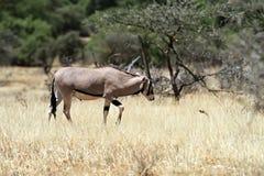 Gazella сернобыка в саванне Стоковое Фото
