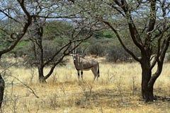 Gazella сернобыка Стоковые Фото