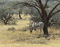 Gazella сернобыка Стоковое Изображение RF