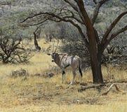 Gazella сернобыка Стоковая Фотография