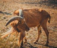 Gazella Lizenzfreie Stockfotos