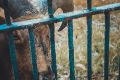 Gazella in cage Stock Photo