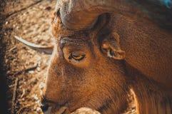 Gazella. Closeup of gazella Royalty Free Stock Image