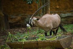 Gazella d'Oryx photo libre de droits