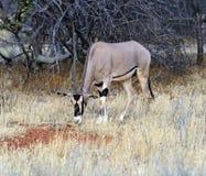 Gazella del Oryx Fotografia Stock