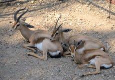 Gazella dorcas family. Resting in the shadow Stock Photo